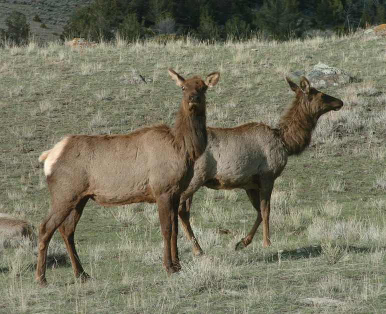 Game officials say large private ranches are key to maintaining important habitat for elk and other wildlife east of Yellowstone National Park.