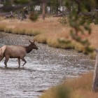 An elk crosses the Firehole River in Yellowstone National Park in September 2011.