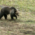 A grizzly bear digs in wet dirt near Cub Creek in Yellowstone Na