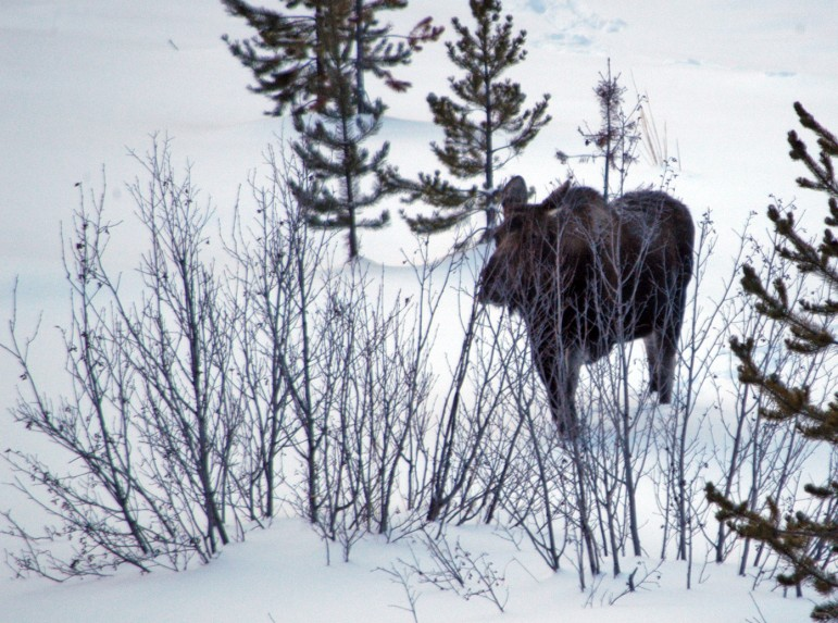 A moose moves through vegetation along the North Fork of the Shoshone River, just east of Yellowstone National Park.