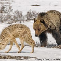 A subadult grizzly attempts to initiate play with a wary coyote.  Photographed during May in Hayden Valley, YNP.
