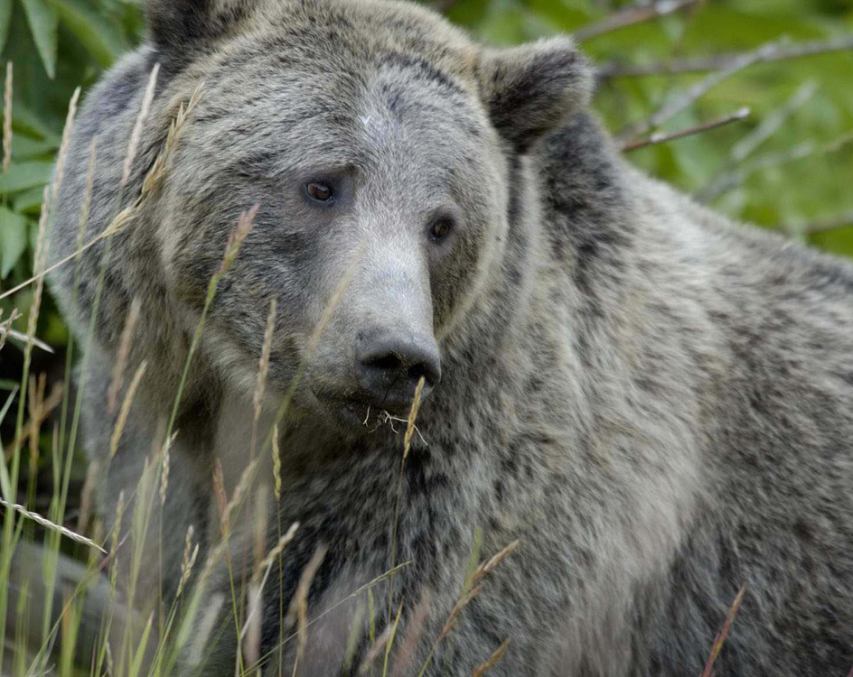 Government investigators are unsure of the cause behind a fatal grizzly bear attack in August on a hiker in Yellowstone National Park. (USFWS photo by Terry Tollefsbol - click to enlarge)