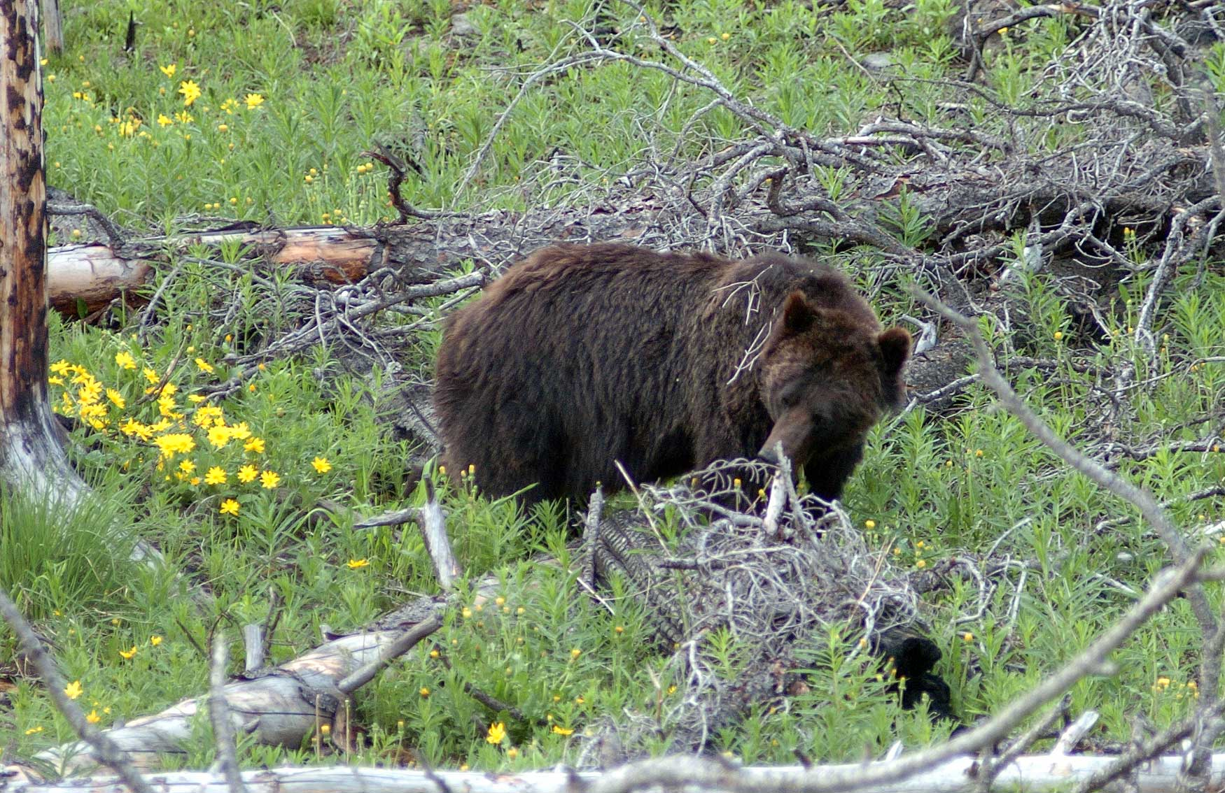 A subadult grizzly bear scans the ground near Cub Creek on the east side of Yellowstone National Park. (Yellowstone Gate file photo by Ruffin Prevost - click to enlarge)
