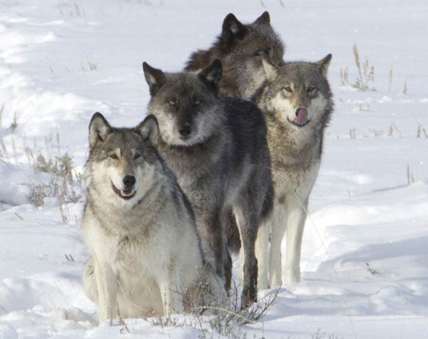 How I got that shot: Drats! — Yellowstone's Lamar Canyon wolf pack ...