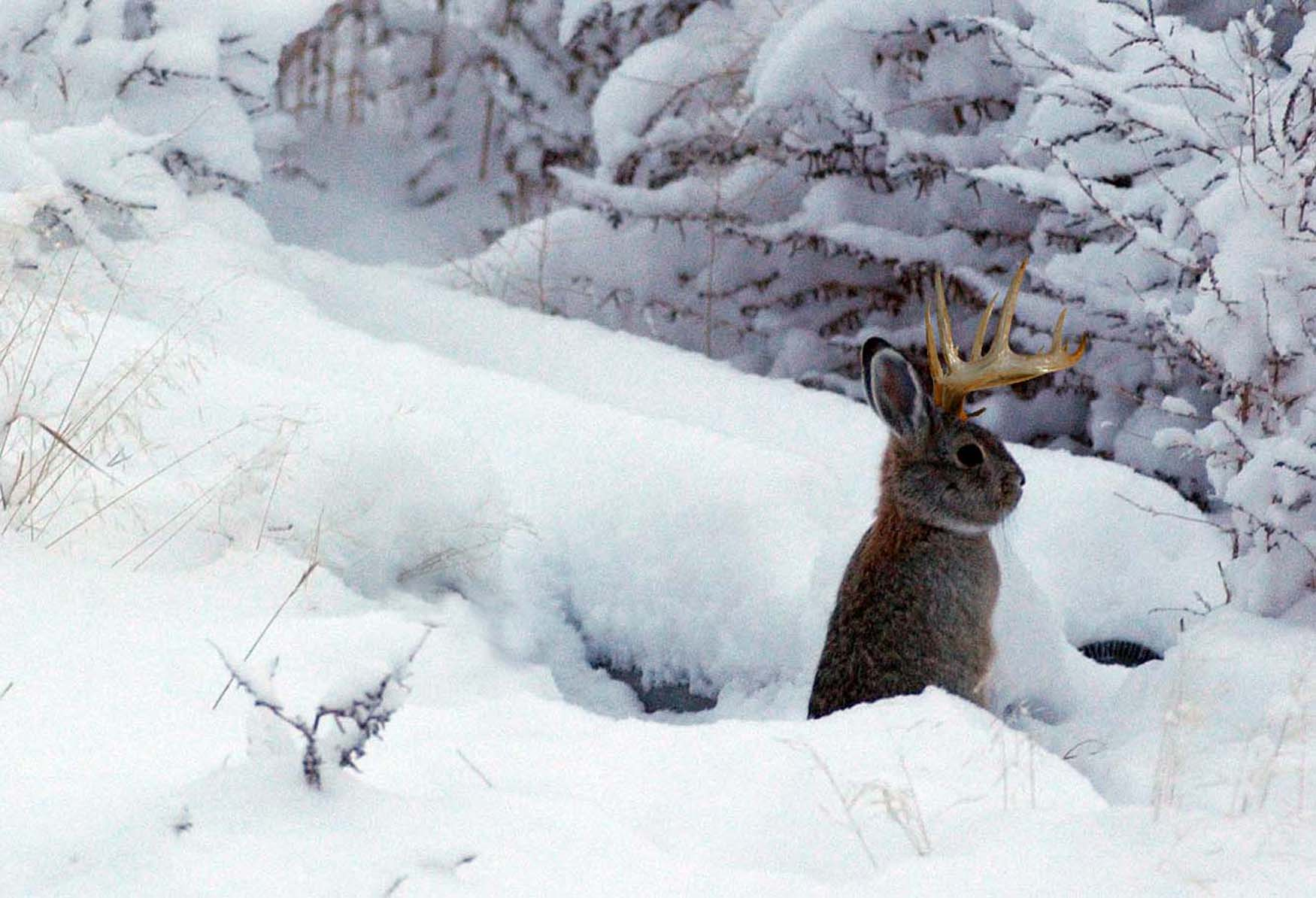 Petition Seeks Return Of Yellowstone Jackalope To Public