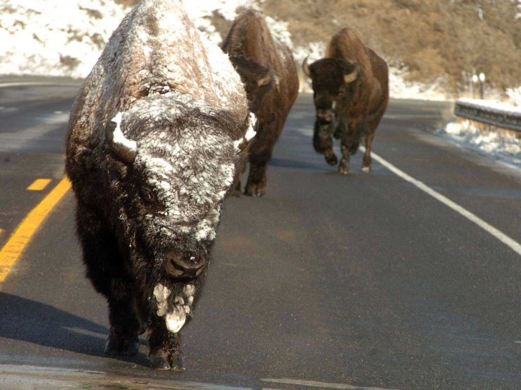 A trio of bison make their way along a highway as they migrate between winter and summer feeding grounds. (Ruffin Prevost/Yellowstone Gate - click to enlarge)