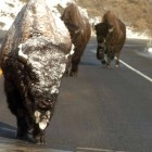 A trio of bison make their way along a highway near Yellowstone National Park. (Ruffin Prevost/Yellowstone Gate - click to enlarge)