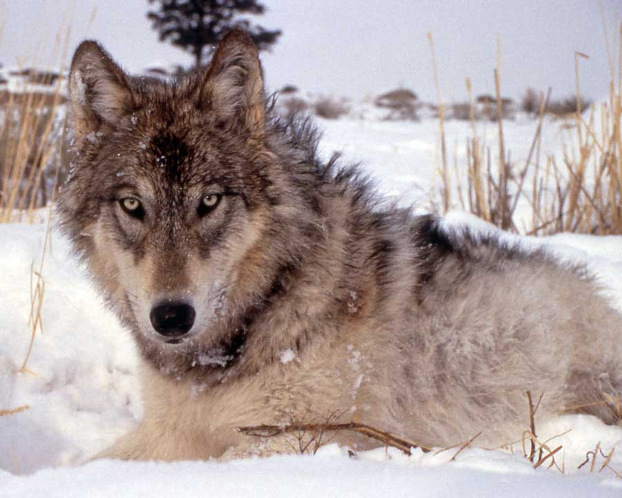 Officials are investigating a case of wolf poaching in the Shoshone National Forest east of Yellowstone National Park. (NPS file photo - click to enlarge)