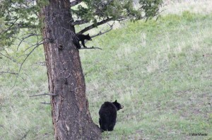 yellowstone-wildlife-black-bear