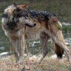 canyon-wolf01