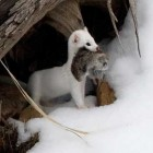 yellowstone-photos-ermine