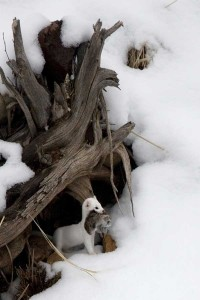 yellowstone-photos-ermine-with-vole