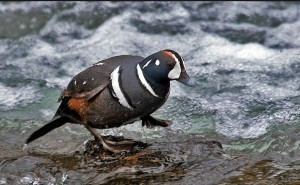 Harlequin ducks spend winters in coastal regions of the Pacific Northwest, but they join other Grand Teton birds each summer along swift streams and rivers in the park. (Rob Koelling - click to enlarge)