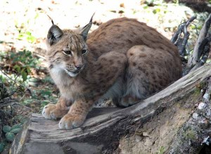 yellowstone-animals-lynx