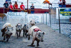 Pigs race at Bear Creek Downs, a seasonal swine derby near Red Lodge, Mont. (Montana Office of Tourism - click to enlarge)