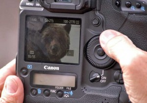 A grizzly bear is visible on the preview screen of  Mike Robinson's camera as the photographer checks shots he took Friday near Lake Butte Overlook in Yellowstone National Park. (Ruffin Prevost/Yellowstone Gate - click to enlarge)