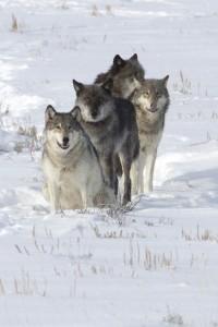 drats-lamar-canyon-wolf-pack