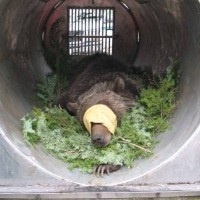 A tranquilized grizzly bear lies in a trap similar to those used for capturing nuisance bears in Grand Teton National Park and surrounding areas. (NPS photo - click to enlarge)