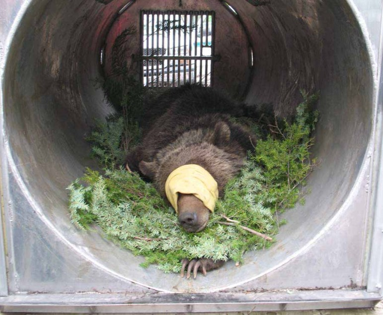 A tranquilized grizzly bear lies in a trap similar to those used for capturing and relocating problem bears around the greater Yellowstone area.