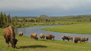 A herd of bison graze on June grass near Fountain Flats in Yellowstone National Park. (©Sandy Sisti - click to enlarge)