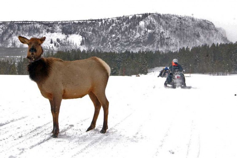 A collared elk is wary, but appears relatively undisturbed by passing snowmobiles in Yellowstone National Park.