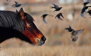 A horse grazes as it watches a starling take evasive maneuvers north of Powell, Wyo. (©Rob Koelling - click to enlarge)