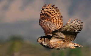 An owl takes flight near Powell, Wyo. (©Rob Koelling - click to enlarge)