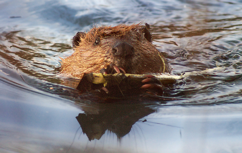 Beavers are capable and resourceful dam-builders. (click to enlarge)