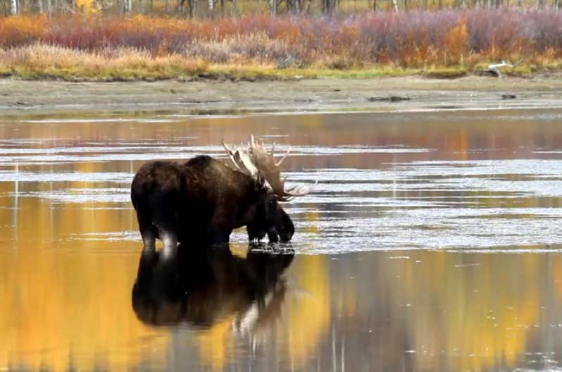 Autumn is a great time to see changing colors and abundant wildlife in Yellowstone and Grand Teton national parks. (Still image from video by Mike Cavaroc - click to enlarge)