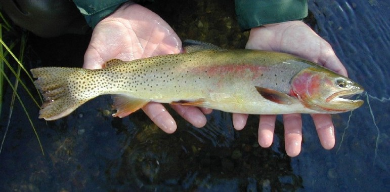 Wyoming Game and Fish Department workers will use a helicopter to stock high-altitude lakes near Cody, Wyo., with Yellowstone cutthroat trout and other trout species.