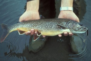 The lake trout have plagued Yellowstone Lake since their presence was made known in 1994. A single female can lay thousands of eggs and live up to 50 years, making them a particularly resilient foe. (Courtesy of U.S. Fish and Wildlife Service — click to enlarge)