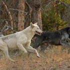 The Canyon Pack alpha male wolf (right) and his mate run near the FIrehole River in Yellowstone National Park. (©Sandy Sisti - click to enlarge)