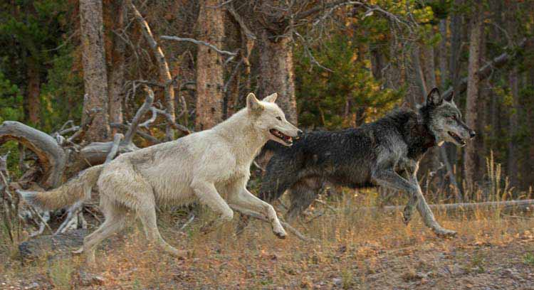 The Canyon Pack alpha male wolf (right) and his mate run near the FIrehole River in Yellowstone National Park. ©Sandy Sisti