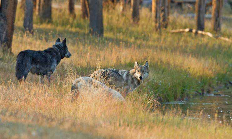 Wolves from the Canyon Pack in Yellowstone National Park drink from the Firehole River. (©Sandy Sisti - click to enlarge)