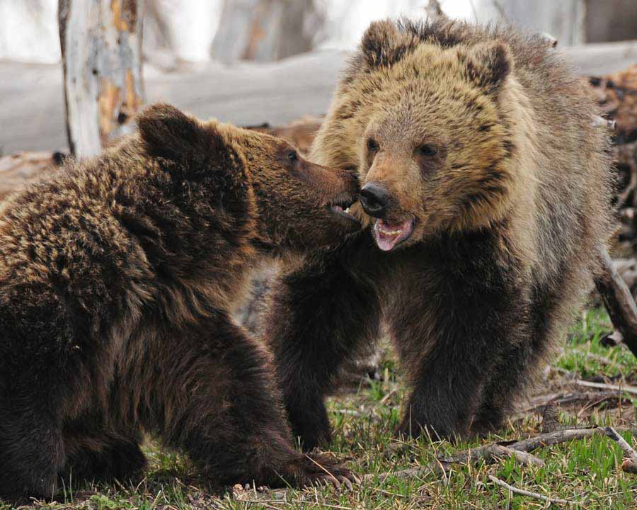 Grizzly bear siblings Raspberry, left, and White Claws tussle near Yellowstone Lake. (©Sandy Sisti - click to enlarge)
