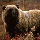 Grizzly bear managers meet Dec. 10-11 in Missoula, mont.