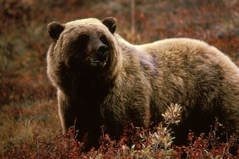 Wildlife officials warn that a poor crop of whitebark pine seeds this year will push an expanding population of grizzly bears into lower elevations.