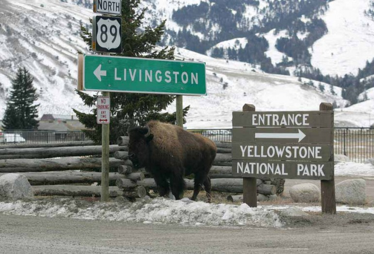 A bison stands near road signs in downtown Gardiner, Mont. in January 2006. (Jim Peaco/NPS - click to enlarge)