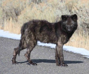 A wolf pup from the now-defunct Gardner Hole pack in Yellowstone National Park suffers from mange, a condition where mites cause excessive scratching resulting in fur loss. (NPS photo - click to enlarge)