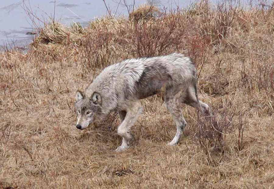 Researchers with the Yellowstone Wolf Project are raising money for a website that will collect and archive visitor photos to help track mange, an infectious disease that causes skin lesions and fur loss. (NPS file photo by Ryan Kindermann - click to enlarge)