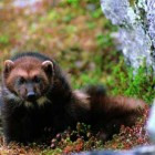 Federal wildlife officials have proposed endangered species protection for the wolverine, a small but ferocious predator that has been known to kill deer or even elk. (click to enlarge)