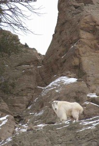 A mountain goat keeps a watchful eye from a high perch along the Upper South Fork of the Shoshone River near Cody, Wyo.