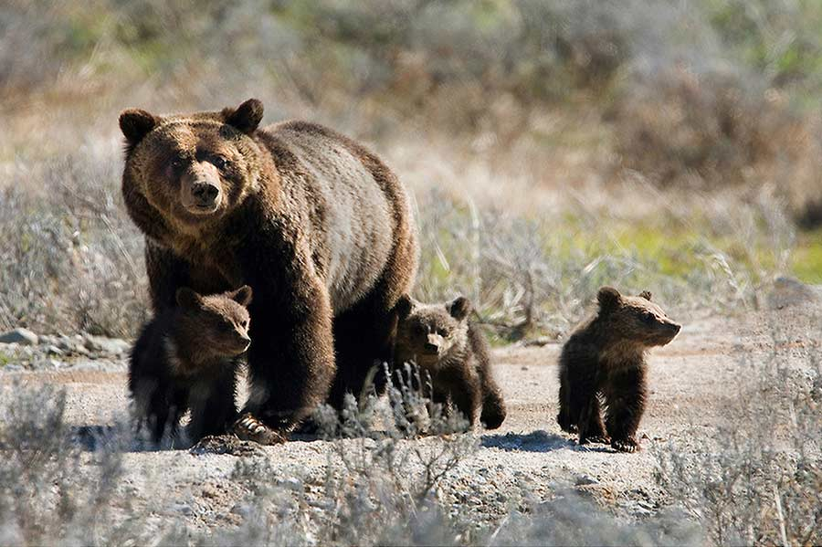 A mother grizzly known as Blaze leads her three cubs on a trail between Mary Bay and Lake Hotel in Yellowstone National Park. (photo ©Meg Sommers - click to enlarge)