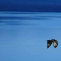 An osprey flies of Yellowstone Lake in Yellowstone National Park. (photo Rob Koelling)
