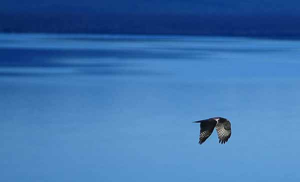 An osprey flies of Yellowstone Lake in Yellowstone National Park. (photo ©Rob Koelling)
