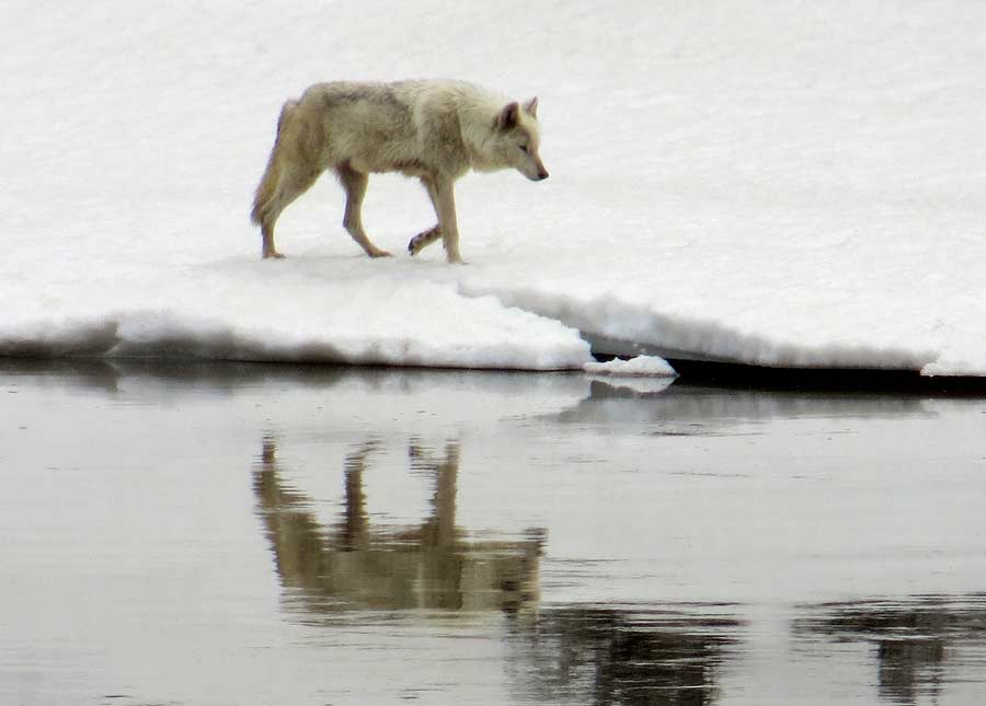 A wolf prowls along the bank of the Yellowstone River in Yellowstone National Park. (photo ©Bob Richard)