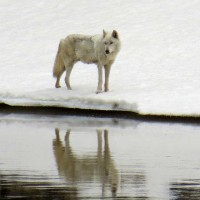A wolf gazes across the Yellowstone River in Yellowstone National Park. (photo ©Bob Richard)