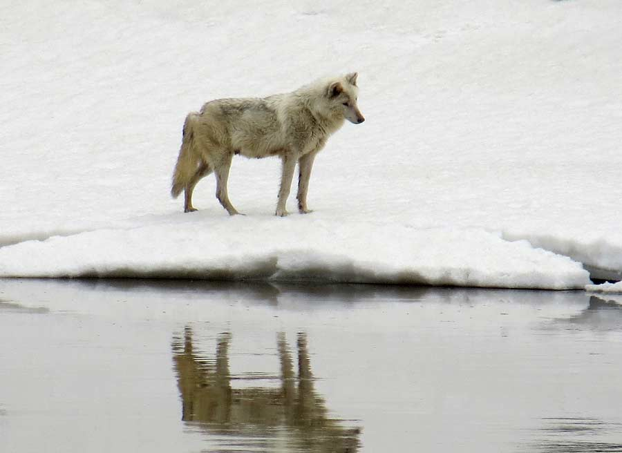 A wolf appears to gaze into the Yellowstone River in Yellowstone National Park. (photo ©Bob Richard)