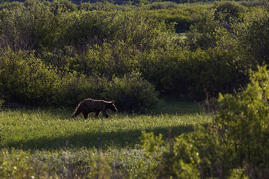 A bear cub walks among the willows in Grand Teton National Park. (© Janet White/GeyserWatch.com)