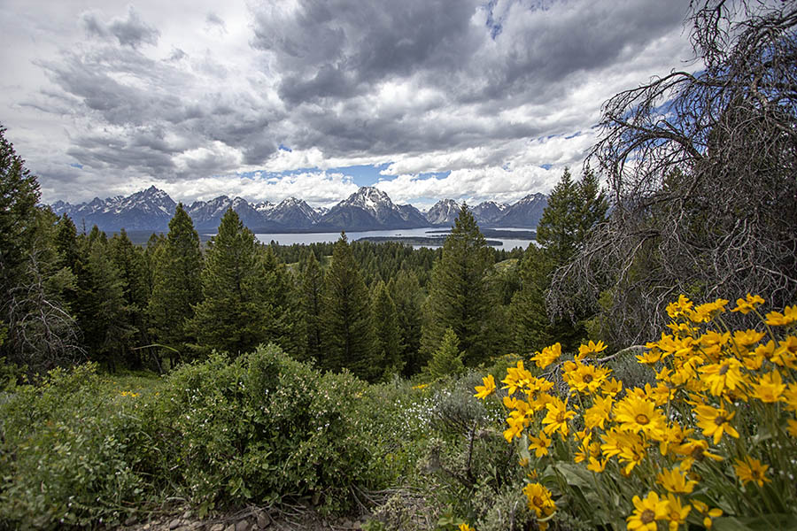 The Tetons appear in the background behind a burst of yellow wildflowers in Grand Teton National Park. (© Janet White/GeyserWatch.com)
